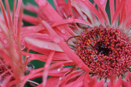 Closeup of a pink gerber daisy with water droplets on the spike petals Stock Photo