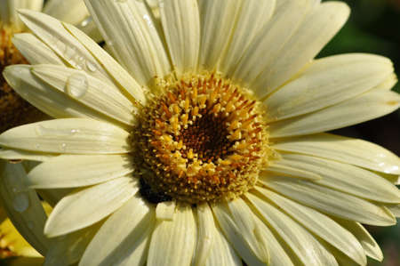 closeup of a single creamy yellow gerber daisy with water droplets on the petals,