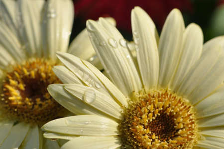 macro of 2 creamy yellow gerber daisies in the sun with droplets of water on the petals