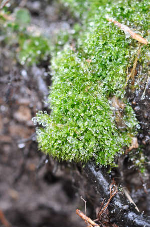 Closeup of moss covered in droplets of ice Stock Photo