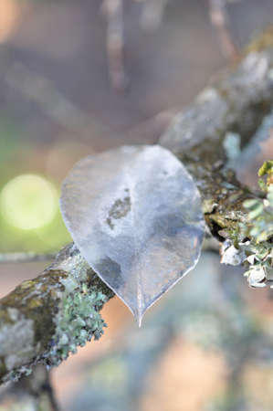 Closeup of a single leaf of ice sitting on a tree branch