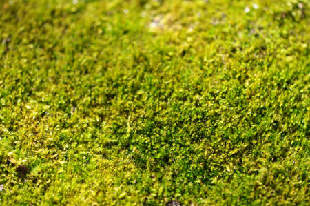 Closeup of a carpet of green moss in the sunlight Stock Photo