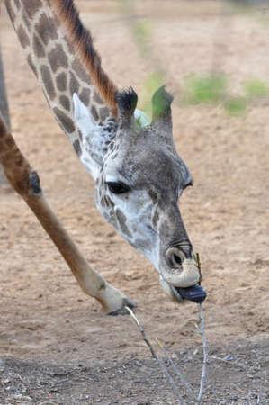 closeup of a single giraffe eating