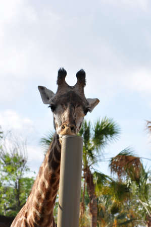 A single giraffe eating the top of a metal pole