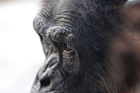 closeup of a chimpanzee in profile
