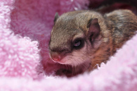 closeup of a single baby flying squirrel (Pteromyini or Petauristini) nestled in pink