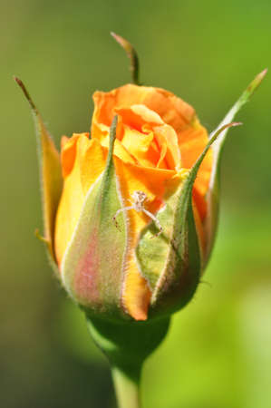 flower spider: closeup of a single orange rosebud with a small flower spider (Thomisus spectabilis) Stock Photo