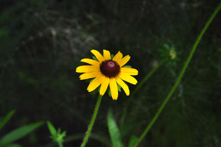 A single yellow daisy with a brown center in bloom against a dark background photo