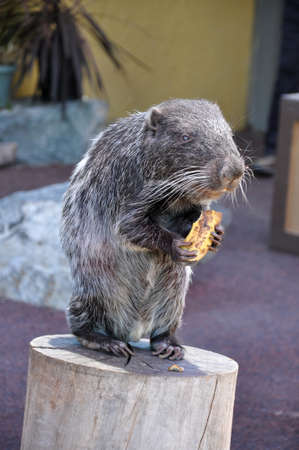 A single Pacarana (Dinomys branickii) eating a banana on top of a log Imagens