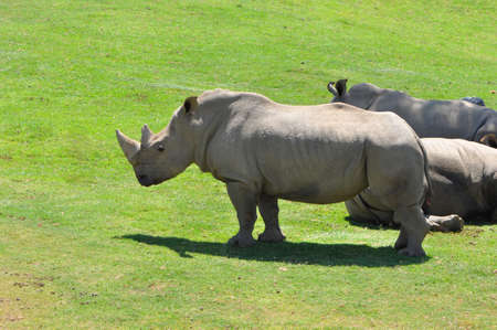 Northern White Rhinos (Ceratotherium simum cottonl) on a grassy plain