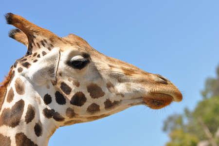 A single giraffe profile closeup against a bright blue sky