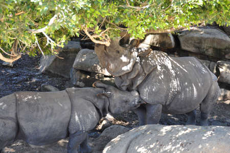 two greater one-horned rhinoceros in a grove of trees and boulders Stock Photo