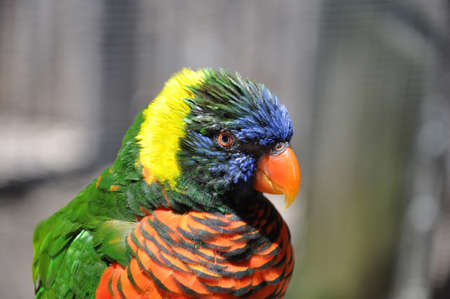 closeup of a single colorful rainbow lorikeet in the sunlight