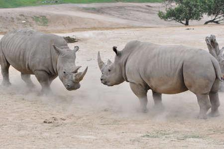 a pair of Northern White Rhinos (Ceratotherium simum cottonl) facing off