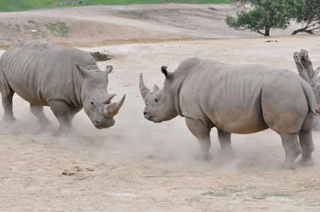 a pair of Northern White Rhinos (Ceratotherium simum cottonl) facing off