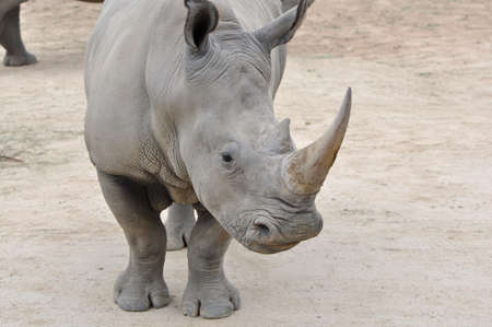 horned: Primer plano de una sola rinocerontes blancos del norte (Ceratotherium simum cottonl)