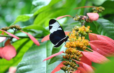 A close up side view of a single Blue and White Longwing Butterfly (Heliconius Cydno) eating nectar from a flower Stock Photo