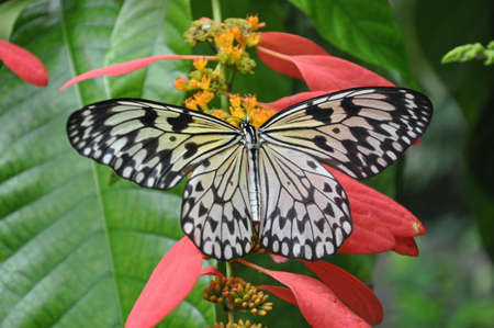 A rice Paper Butterfly (Idea Ieuconoe) close up sitting on pink flowers Stock Photo - 11138507