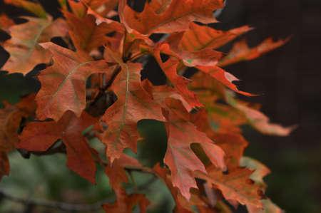Cluster of orange fall oak leaves on a branch