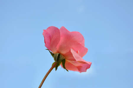 A single bright pink rose in full bloom against a bright blue sky Stock Photo