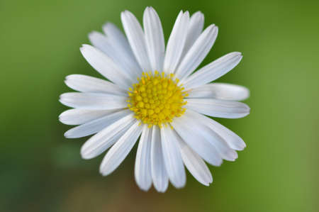 Macro detail of a single yellow and white petite daisy against a green background