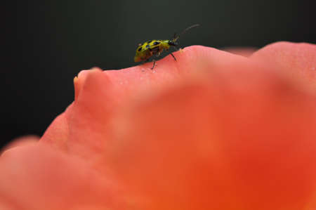 Macro of one southern corn root worm (Diabrotica undecimpunctata) on an orange rose against a dark background