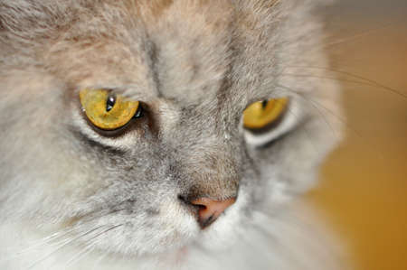 Close up of a silver persian cat face Stock Photo
