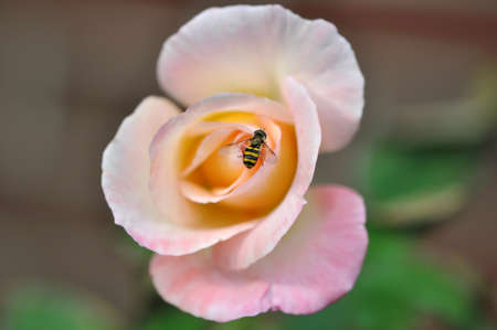 A single small bee gathering nectar on a pale pink rose