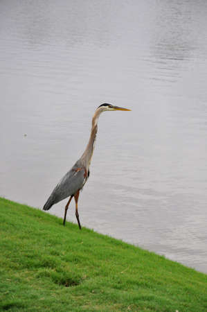 Great Blue Heron (Ardea herodias) standing on edge of lake