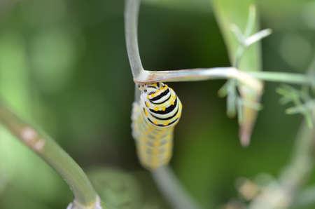 Close up of Black Swallowtail Caterpillar (Papilio polyxenes)