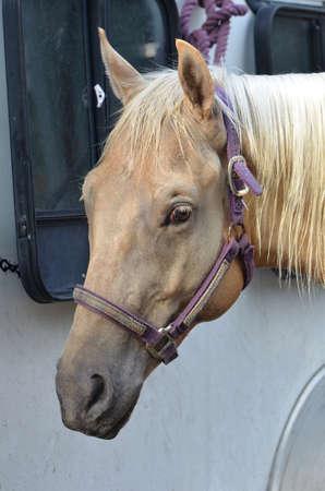 Close up of a palomino horses head photo