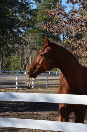 Chestnut horse profile over a white fence in the sun Imagens