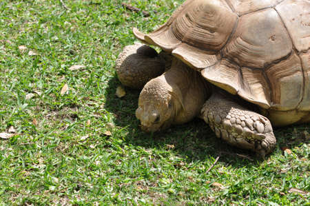 Closeup of a single African Spur Thighed Tortoise (Geochelone sulcata) eating grass Stock Photo