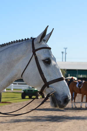 bridle: Show profile of a gray horse with bridle and bit Stock Photo