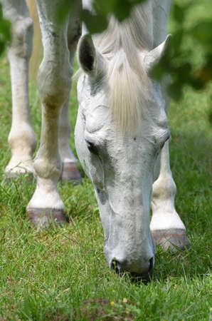 Closeup of a white horse grazing in grass