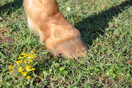 close up of a single horse hoof standing in green grass in bright sunlight Stock Photo