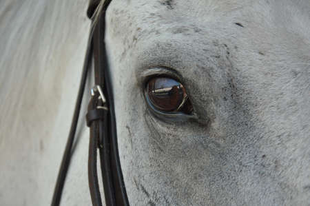 closeup of a brown eye of a white horse