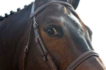 close up of part of the face of a bay horse with a leather bridle and mane in braids