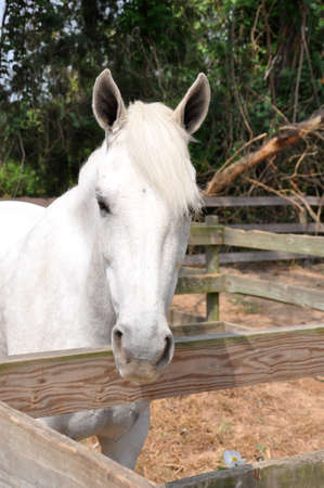 close up of a white horse head looking over a wooden fence