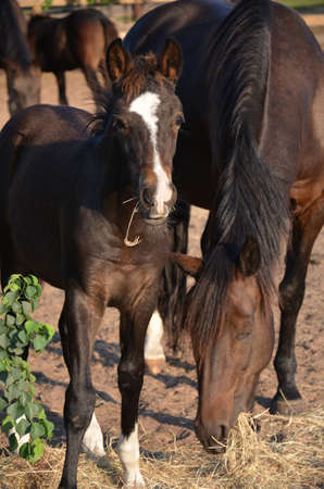 a young bay colt with a white blaze eating hay with his mother
