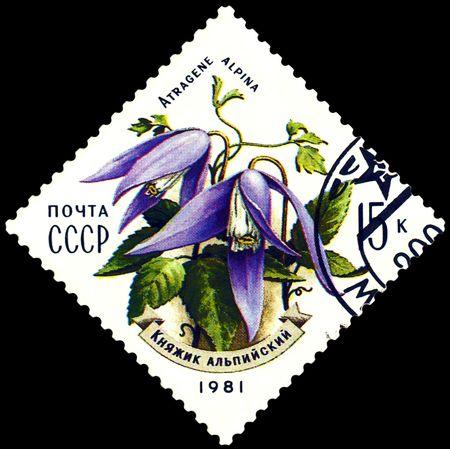 philatelic: a stamp printed in Russia shows mountain flower  Atragene alpina, series, circa 1981