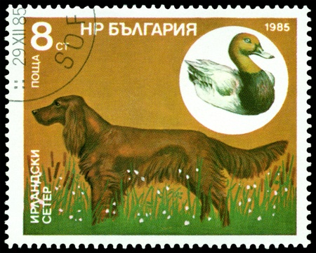 Bulgaria - CIRCA 1985: a stamp printed by Bulgaria, shows  dog  Irish Setter, circa 1985 photo