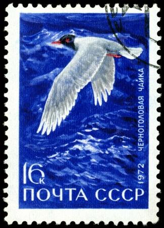 USSR- CIRCA 1972: A stamp printed in USSR shows chernogolovaya sea gull, series, circa 1972. Stock Photo - 8749856