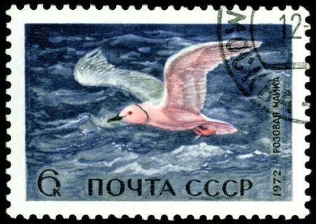USSR- CIRCA 1972: A stamp printed in USSR shows rose sea gull, series, circa 1972. Stock Photo - 8749857