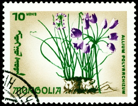 flowerses: Mongolia - CIRCA 1966: a stamp printed in Mongolia shows image flowerses with the inscription �allium polyrrchizum�, series, circa 1966