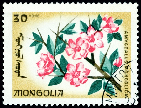 Mongolia - CIRCA 1966: a stamp printed in Mongolia shows image flowerses with the inscription �amygdalus  mongolica�, series, circa 1966  photo