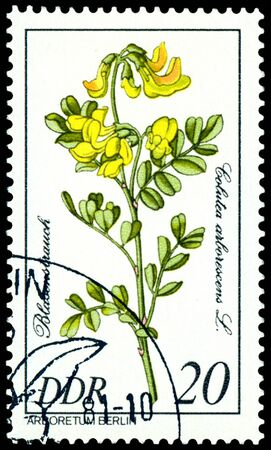 GDR - CIRCA 1981: A stamp printed in GDR shows image of a  Flowerses  with the inscription � Golutea arlorescens L�.  Series   photo