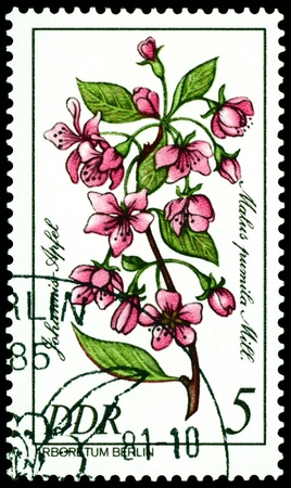 GDR - CIRCA 1981: A stamp printed in GDR shows image of a  Flowerses  with the inscription � Malus pumila Mill�.  Series   photo