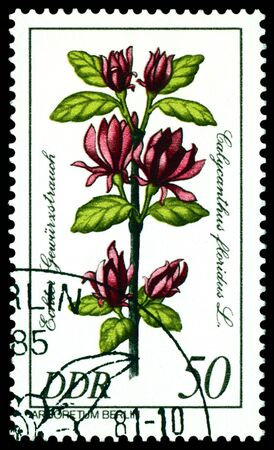 """philatelic: GDR - CIRCA 1981: A stamp printed in GDR shows image of a  Flowerses  with the inscription """"Calycanthus floridus  L."""".  Series   Stock Photo"""