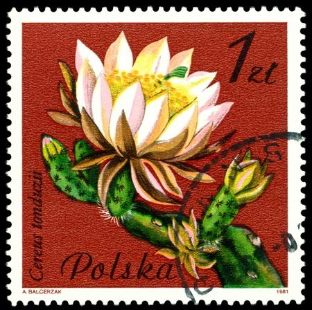 POLAND - CIRCA 1981: a stamp printed in Poland shows flower  Cereus Tonduzii, circa 1981 photo